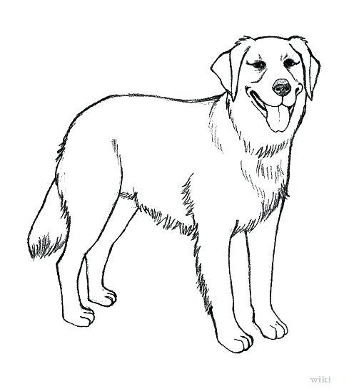 503x549 Labrador Retriever Coloring Pages Realistic Golden Retriever