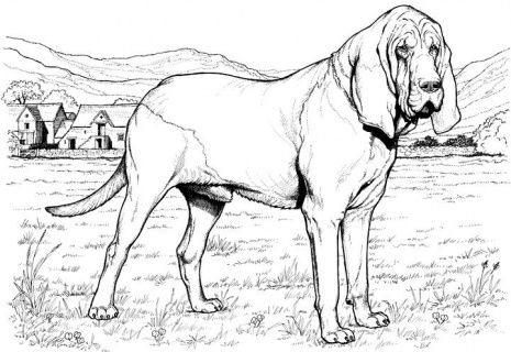 465x320 Dog Color Pages Printable Bloodhound Dog Coloring Page Super