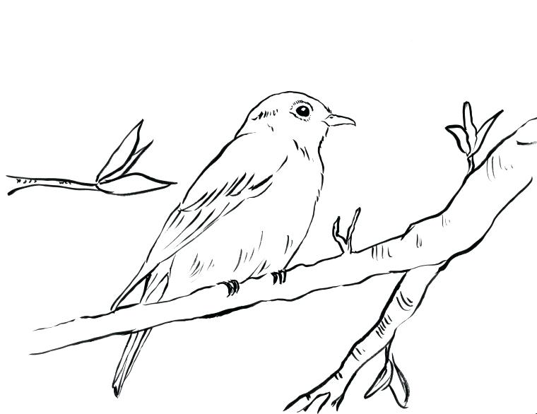 760x586 Coloring Blue Bird Coloring Page Bluebird Jay Pages Blue Bird