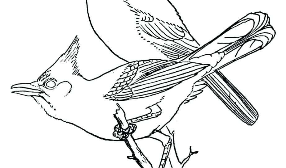 Blue Jay Coloring Page At Getdrawings Com Free For
