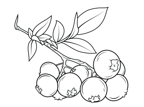 480x358 Blueberry Branch Coloring Page From Blueberry Category Select