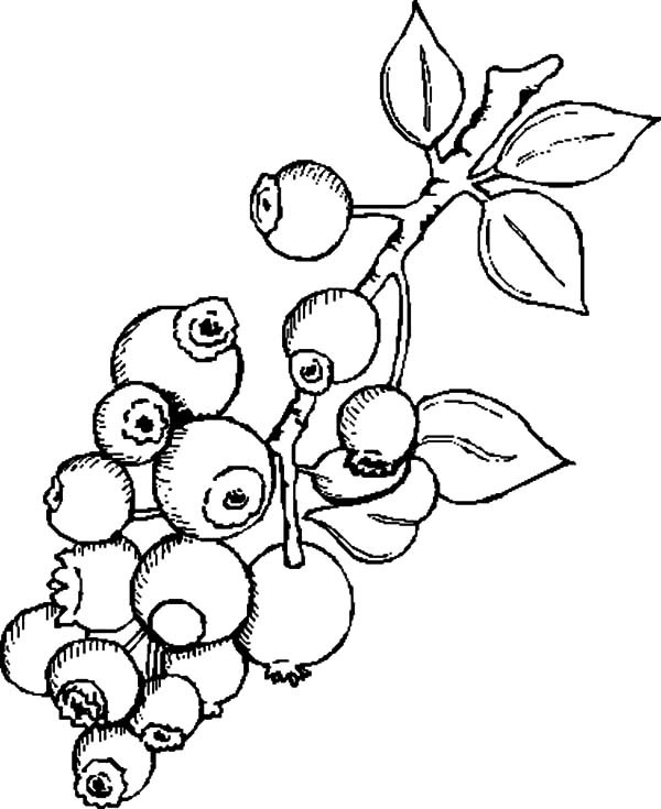 600x735 Delicious Blueberry Bush Coloring Pages Best Place To Color