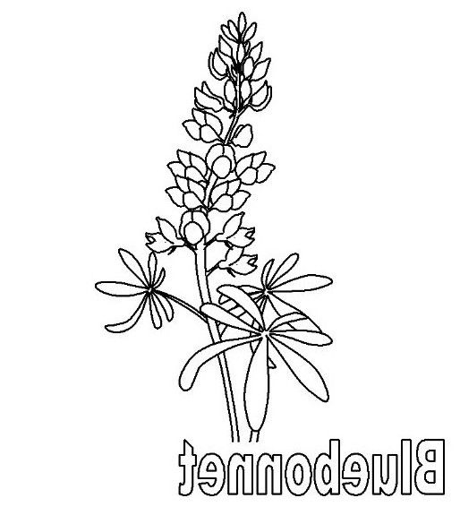 514x575 Bluebonnet Coloring Page Free Coloring Board