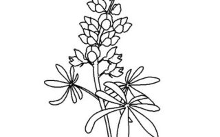 320x200 Bluebonnet Coloring Page Free Drawing Board Weekly