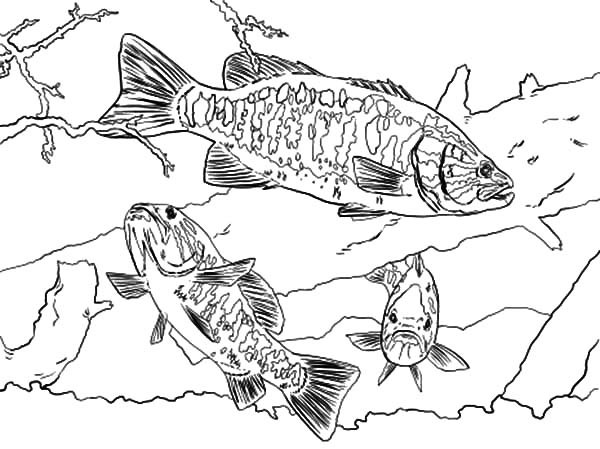 600x449 Bass Coloring Pages