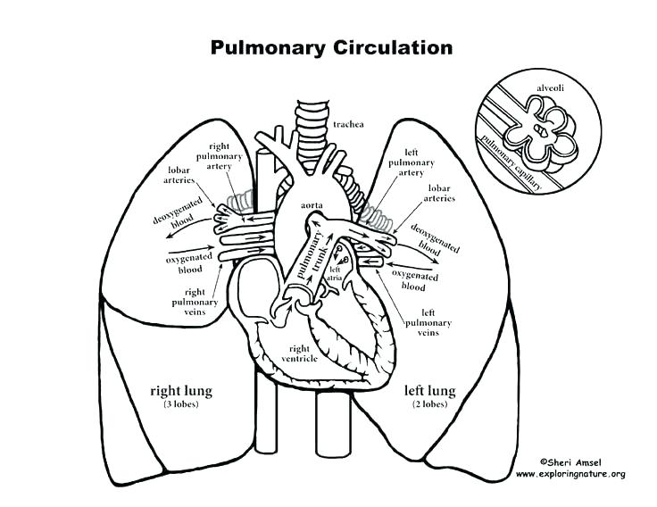 736x568 Circulatory System Coloring Pages Human Body Systems Coloring