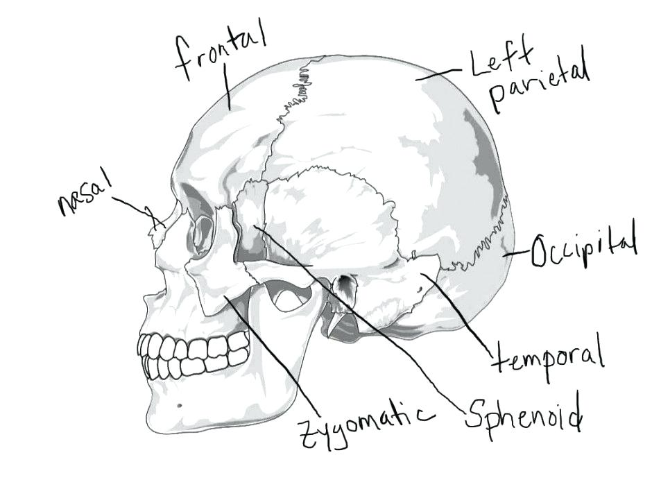940x705 Awesome Skull Coloring Pages Anatomy And Colouring Pages Page