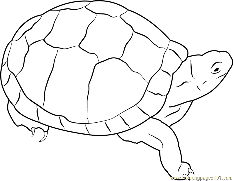 800x620 Eastern Box Turtle Coloring Page