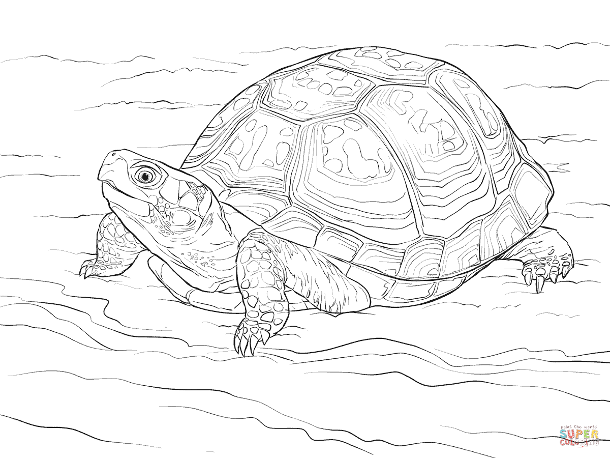 1200x900 Cute Eastern Box Turtle Coloring Page Free Printable Coloring