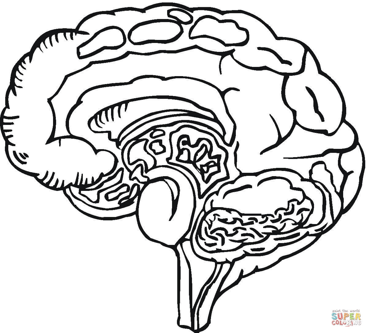 1200x1085 Amazing Of Incridible Brain Parts Coloring Pages With Bra