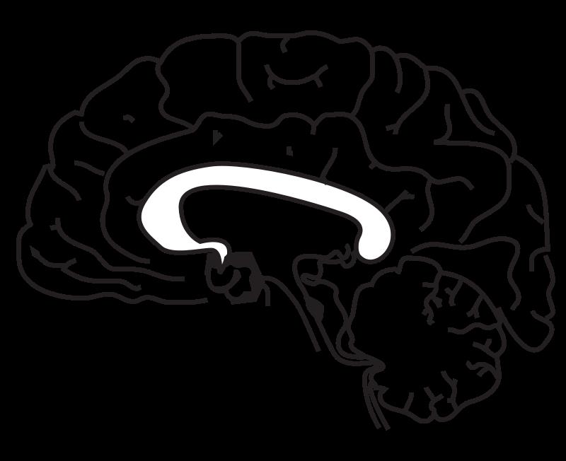800x652 Brain Anatomy Coloring Page Brain Brain Anatomy