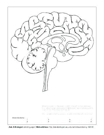357x462 Brain Coloring Worksheet Nervous System Coloring Worksheet Nervous