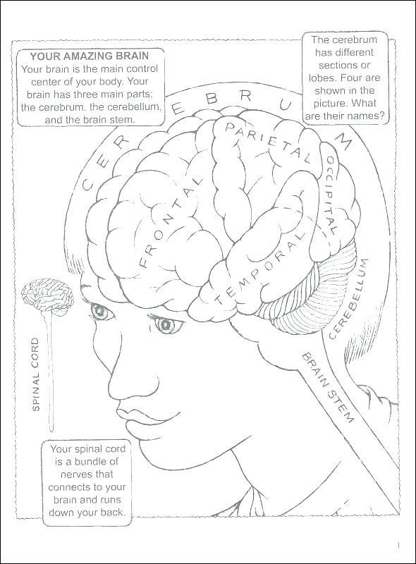 590x800 Coloring Pages Gallery Of Art Brain Anatomy Coloring Book