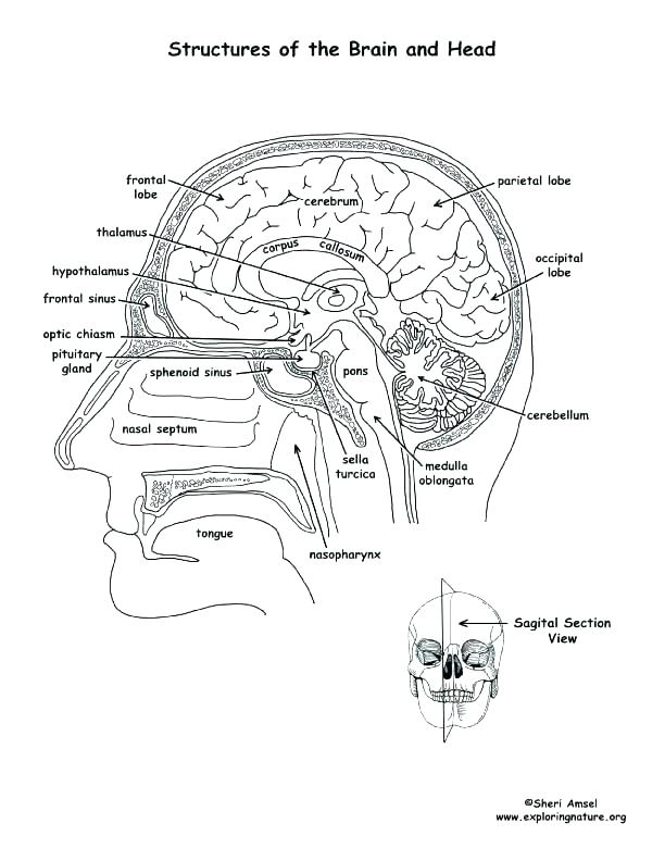 612x792 Human Anatomy Coloring Pages Human Body Coloring Pages Brain