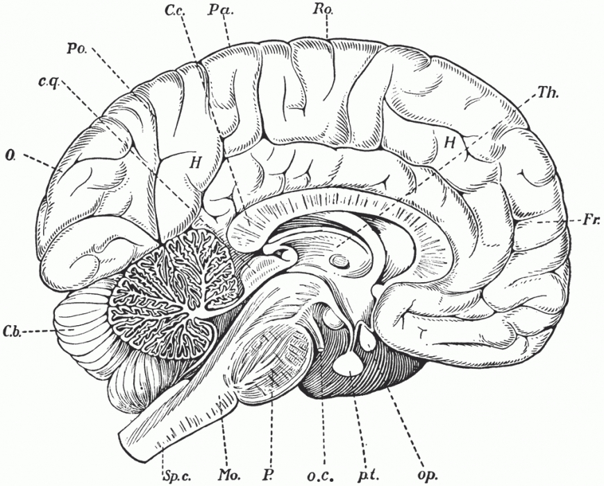 870x701 Brain Anatomy Coloring Pages