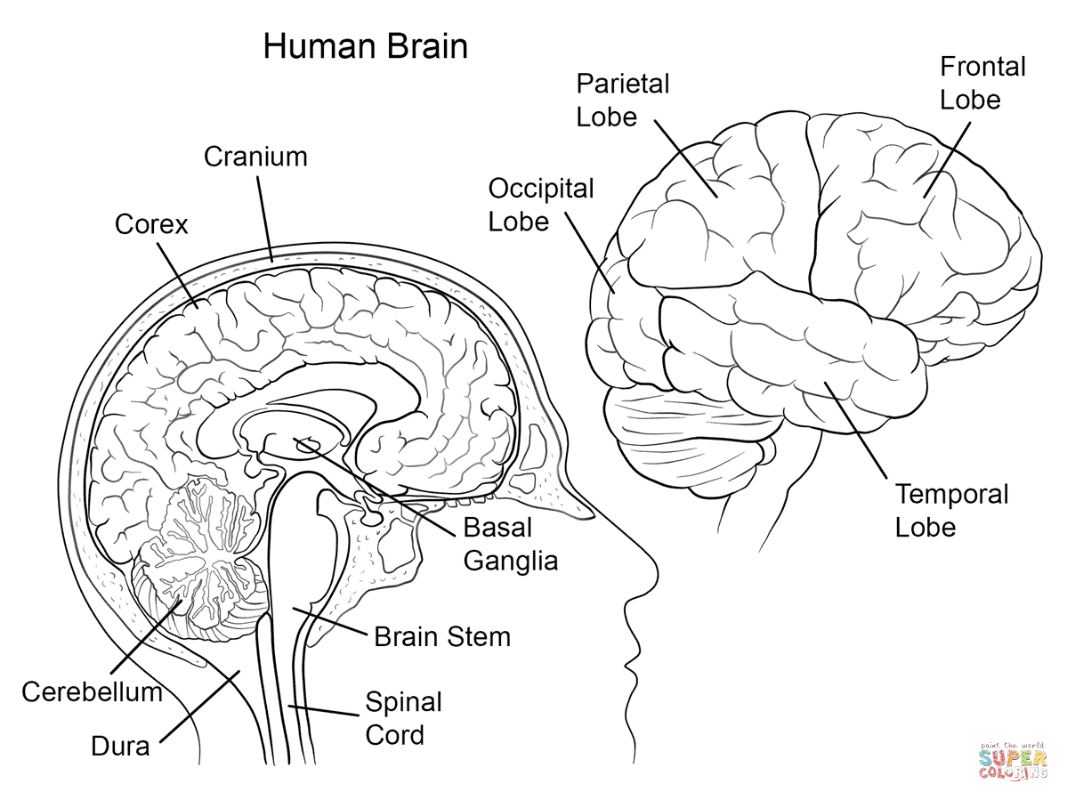 1199x899 Human Brain Anatomy Coloring Page From Anatomy Category Select