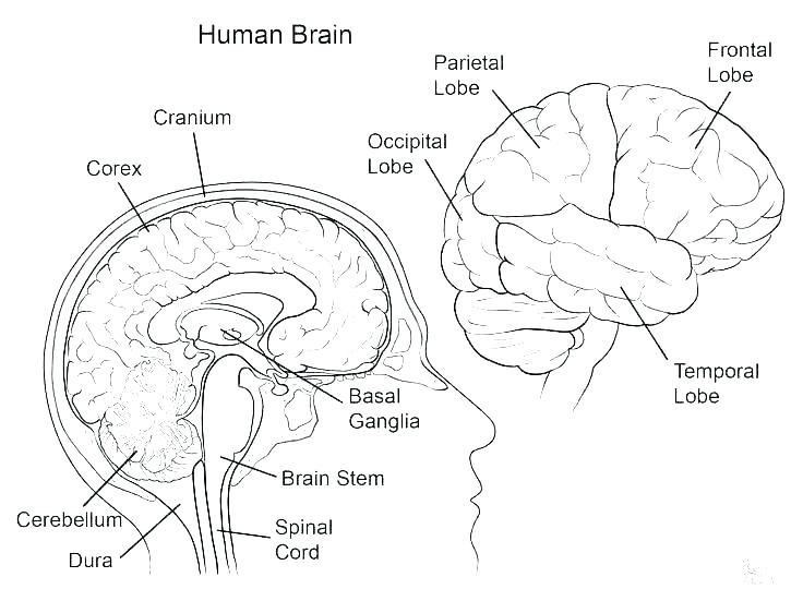 736x551 Human Coloring Pages Human Brain Coloring Pages Anatomy Coloring