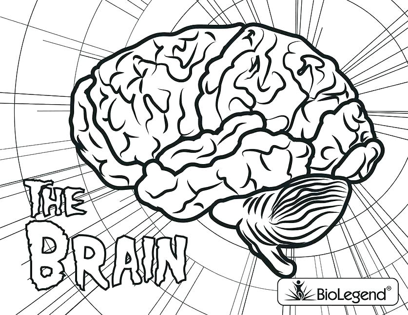 837x647 Brain Anatomy Coloring Pages Brain Anatomy Coloring Pages Brain