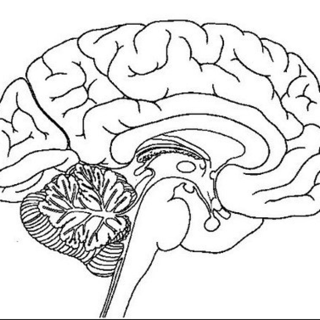1024x1024 Drawn Brain Coloring Page Pencil And In Color