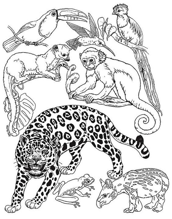 564x718 Brazil Rainforest Coloring Pages Of Animals