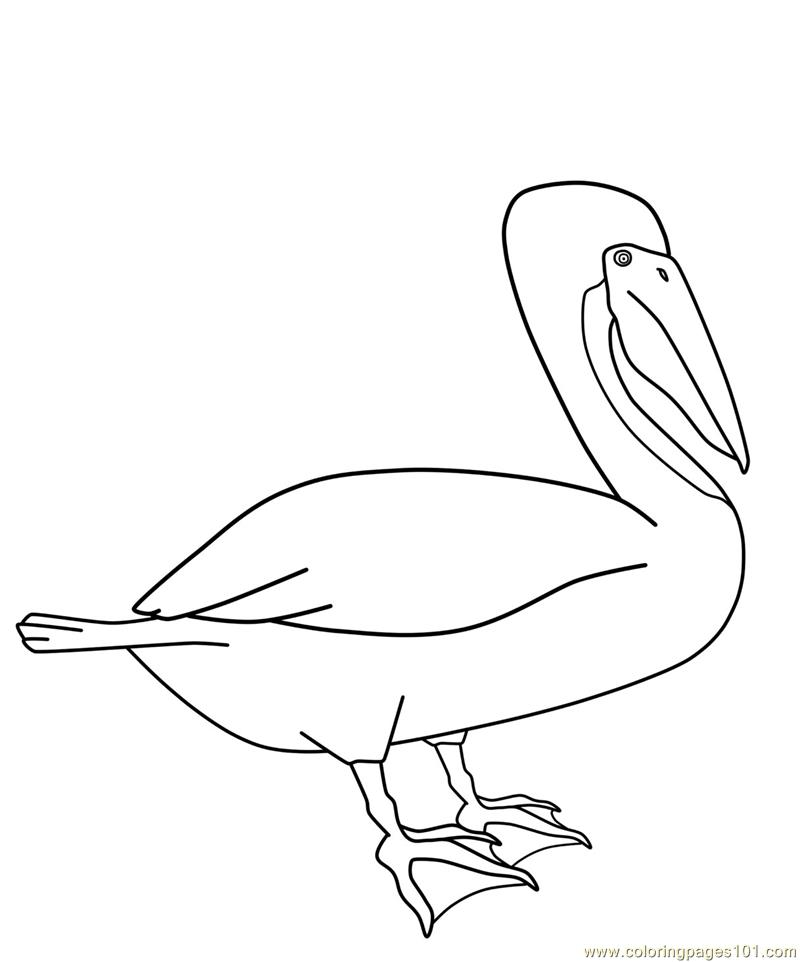 800x962 Eastern Brown Pelican Coloring Page