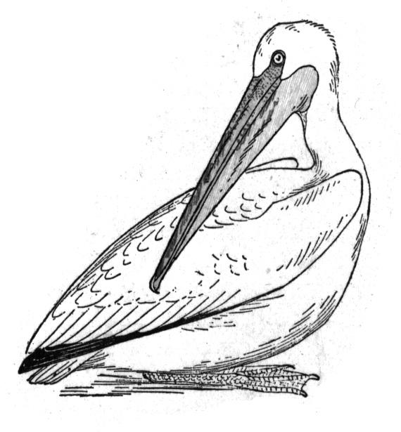 570x615 Free Pelican Coloring Pages