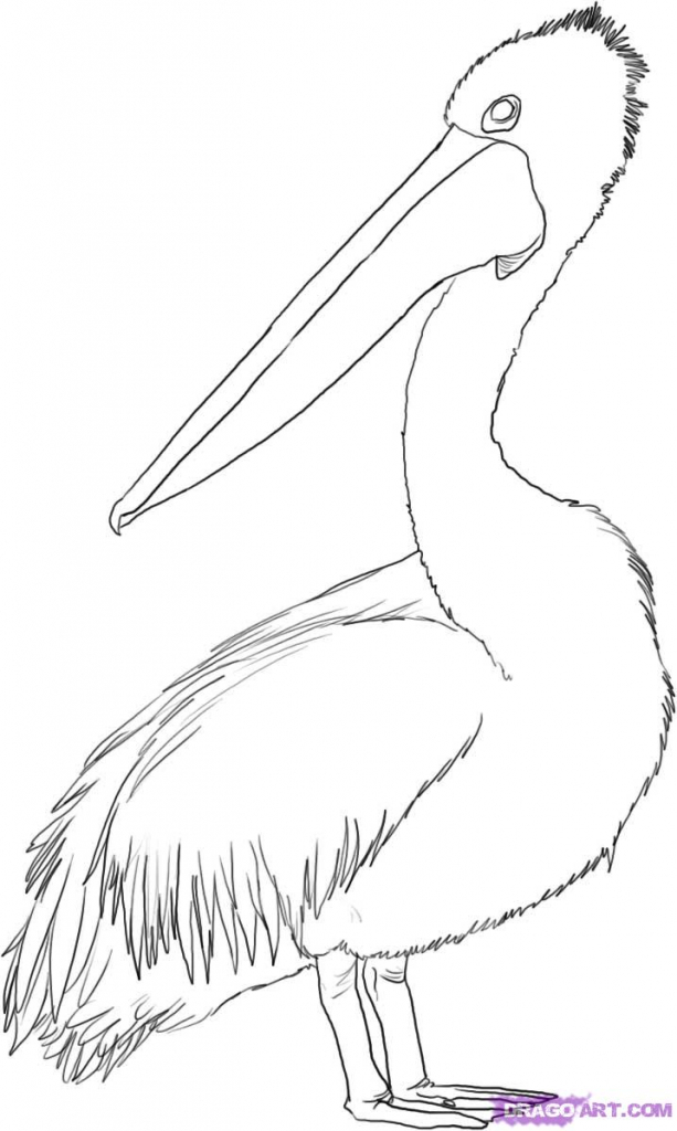 613x1024 How To Draw A Brown Pelican Pelican Coloring Page Google Search
