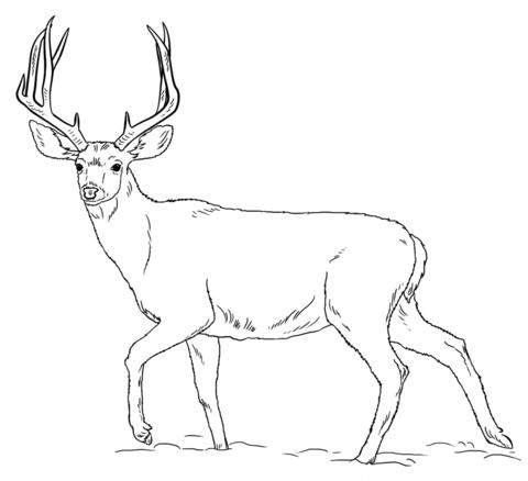 480x438 Mule Deer Buck Coloring Page Mule Deer Category Select