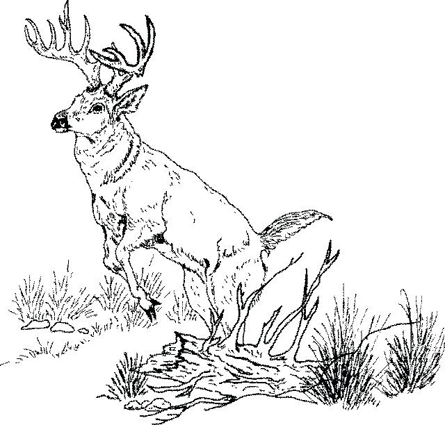 640x612 Whitetail Deer Coloring Pages Tailed Deer Coloring Page Coloring