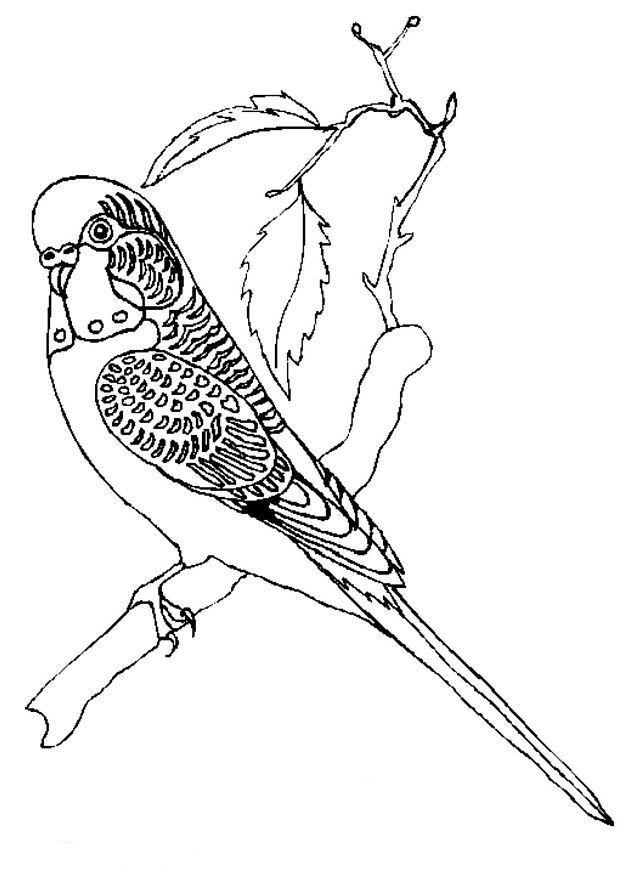 618x874 Best Parkiet Images On Parakeets, Budgies And Parrots