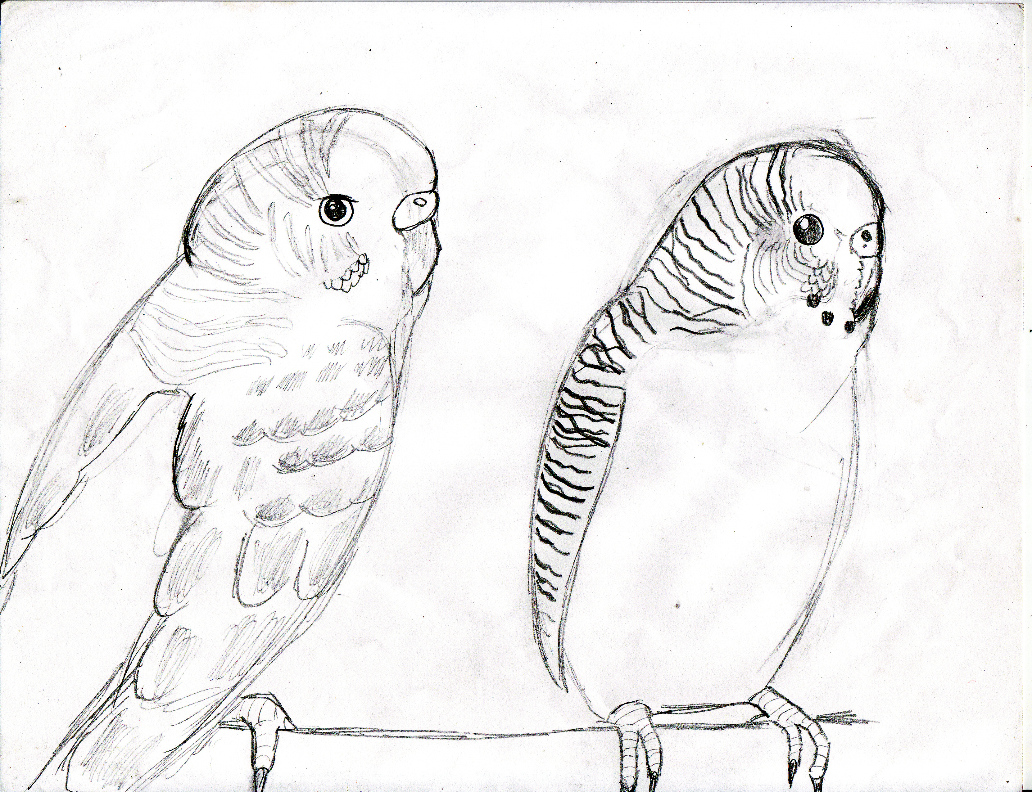 3324x2552 Parakeet Coloring Pages