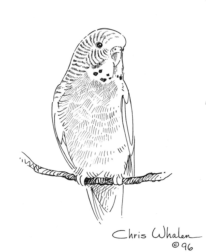 838x1024 Budgie Coloring Pages Illustration Budgie Birds Coloring