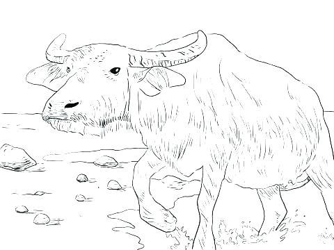 480x360 Buffalo Coloring Page Animal Coloring Page Water Buffalo And Tiger