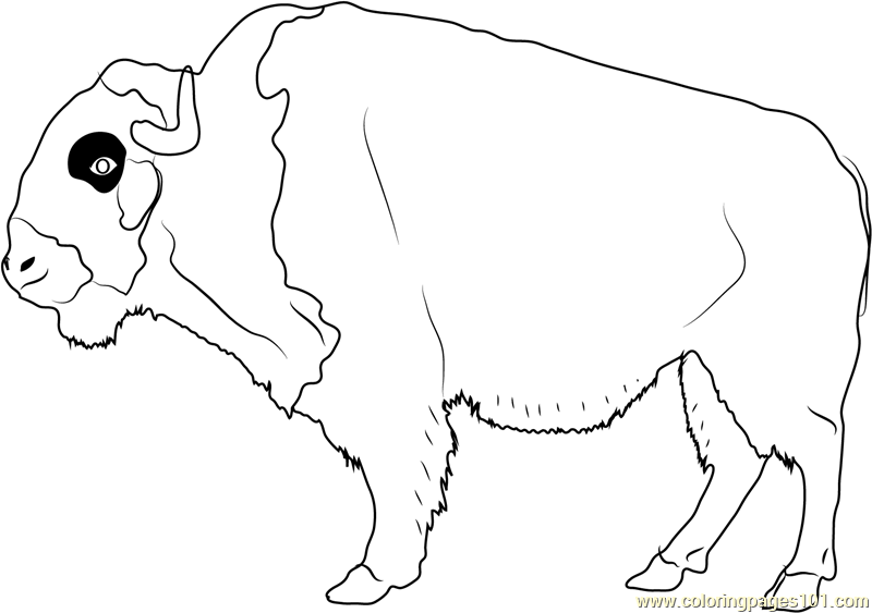 800x563 American Buffalo Coloring Page