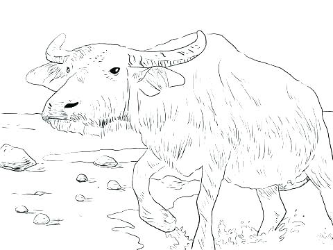480x360 Ox Coloring Page Buffalo Coloring Pages Buffalo Coloring Page