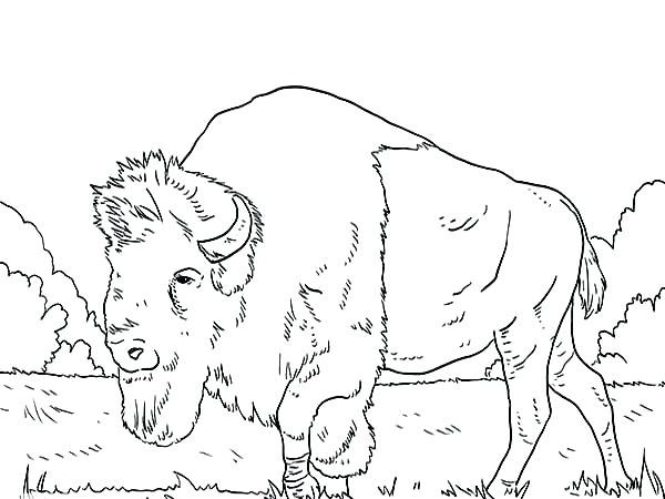 600x450 Bison Coloring Pages Buffalo Coloring Pages Long Bison Coloring