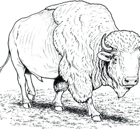 468x433 Buffalo Coloring Pages Buffalo Coloring Pages From Buffalo