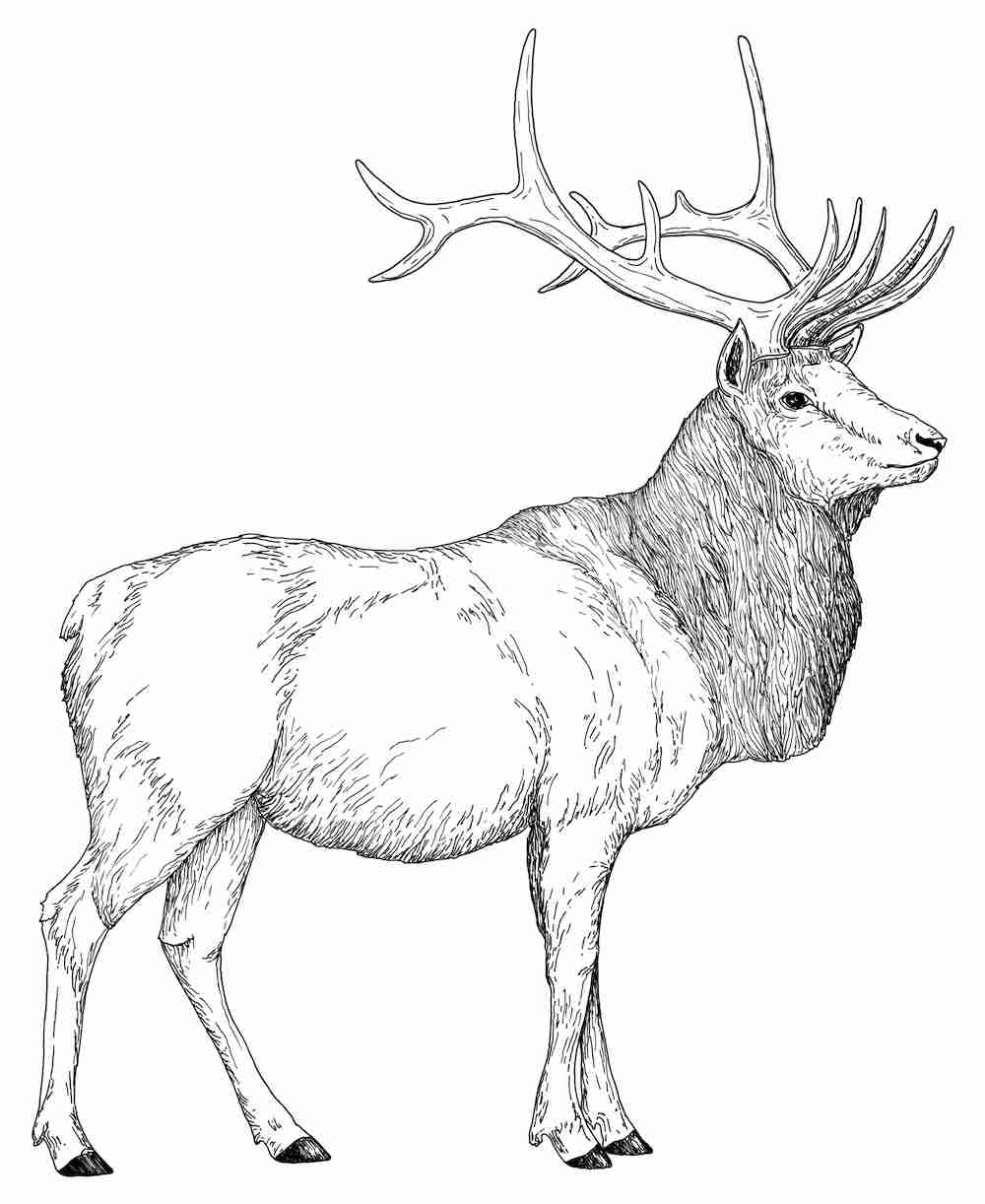 1000x1222 Elk Coloring Pages Preschool For Amusing Page Draw Printable