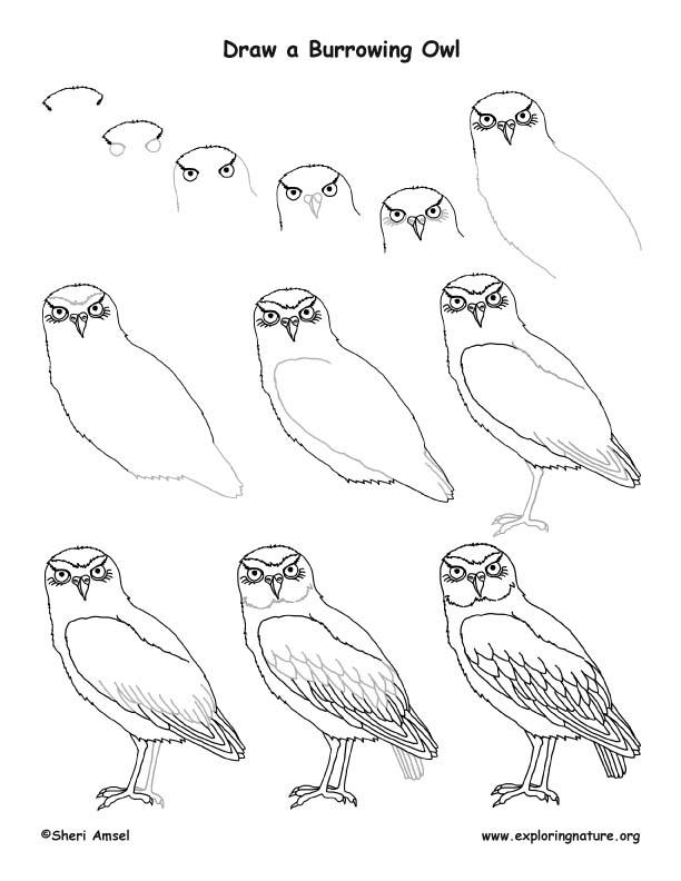 612x792 Drawn Owl Burrowing Owl