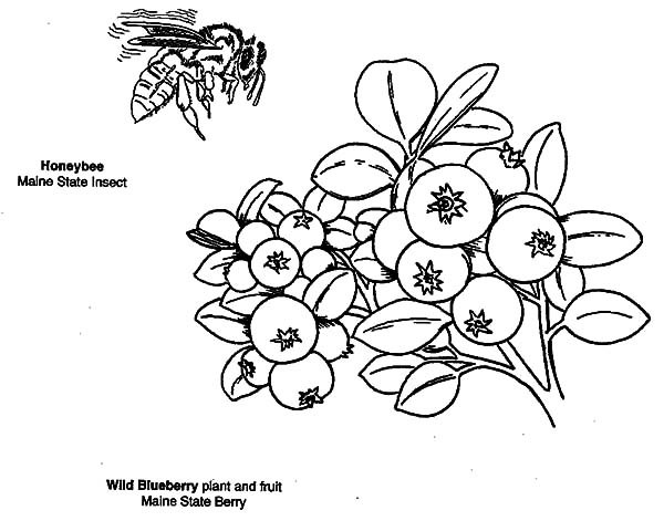 600x471 Wild Blueberry Bush Coloring Pages Best Place To Color
