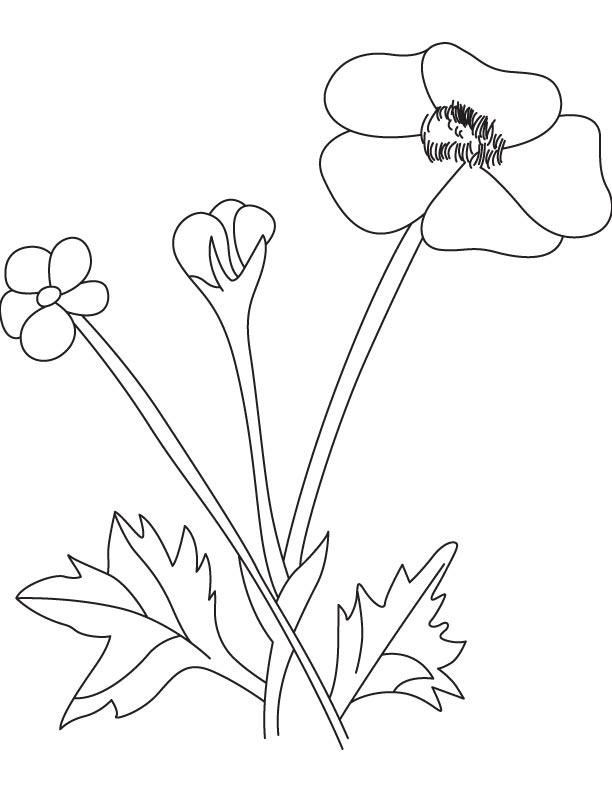 612x792 Buttercup Flower Pod Download Free Buttercup Flower
