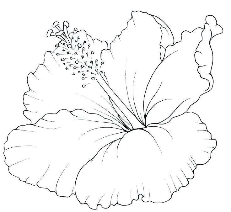 736x676 Best Of Hawaiian Flower Coloring Pages And Download Buttercup