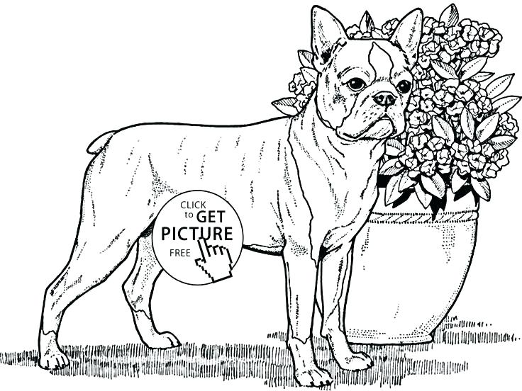 736x552 Boston Terrier Colouring Page As Well As Terrier Coloring Page As