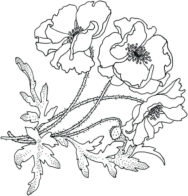 600x623 California Coloring Pages Flag Of Coloring Page California Poppy