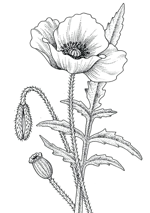 600x847 California Coloring Pages Poppy Poppy For The Love One Coloring