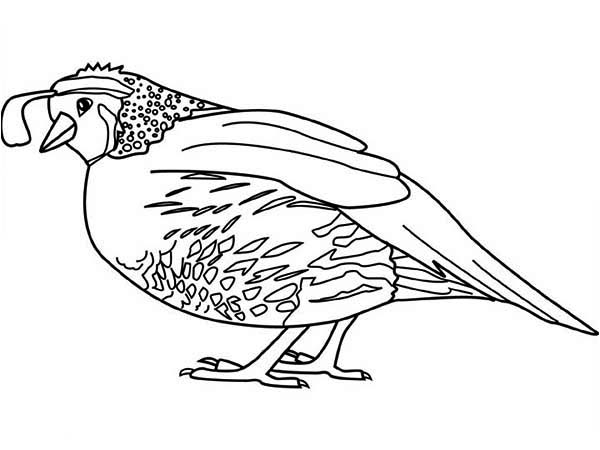 600x450 Coloring Pages For Quail