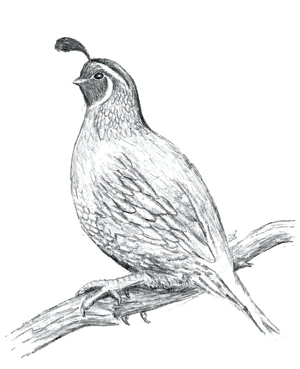 600x739 Q Is For Quail Coloring Page Kids Coloring Letter Q Coloring Page
