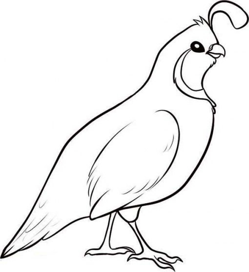 510x558 California State Bird Coloring Page California State Bird Coloring