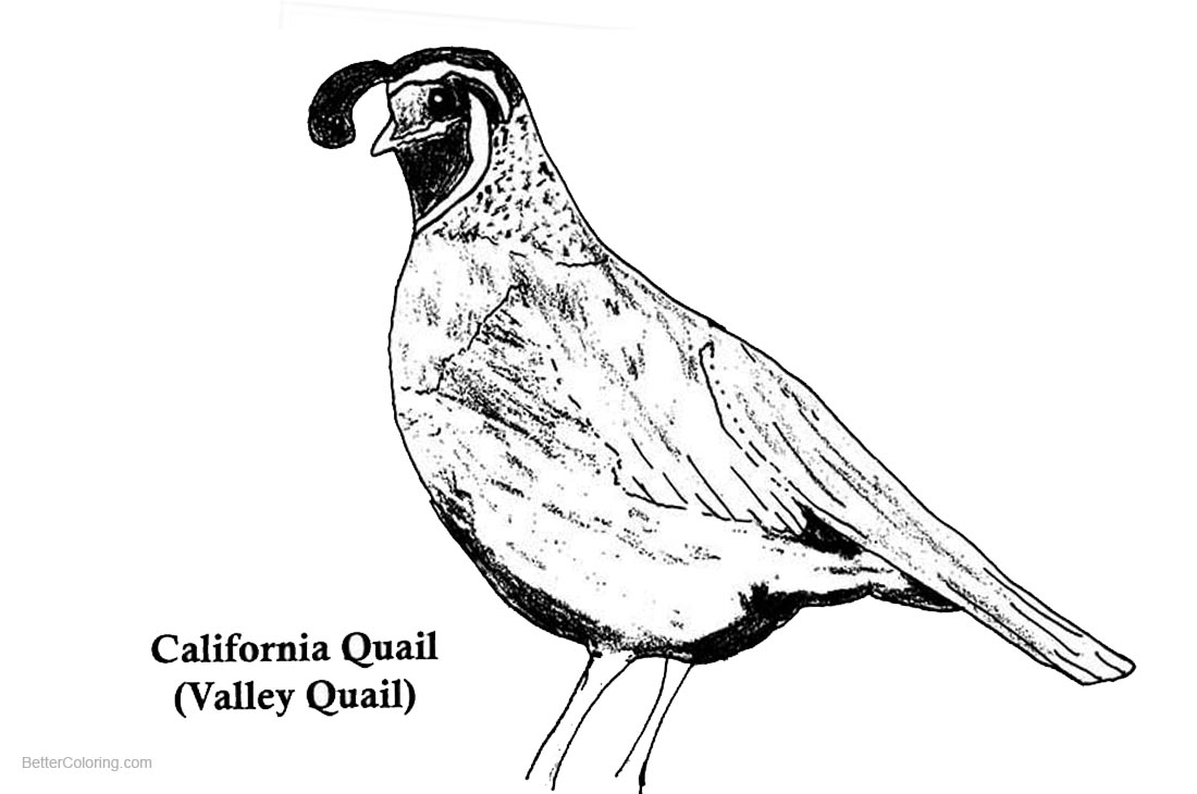 1100x730 California Quail Coloring Pages