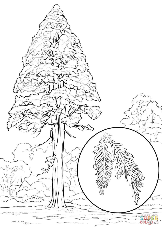 1020x1440 California Redwood